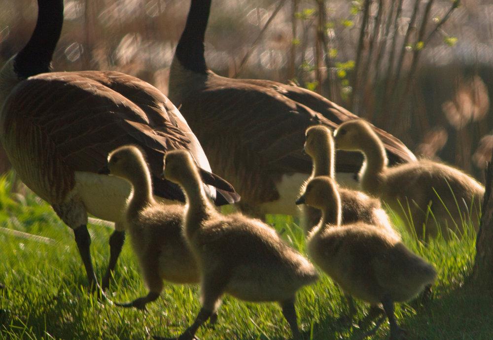 Gaggling of goslings website.jpg