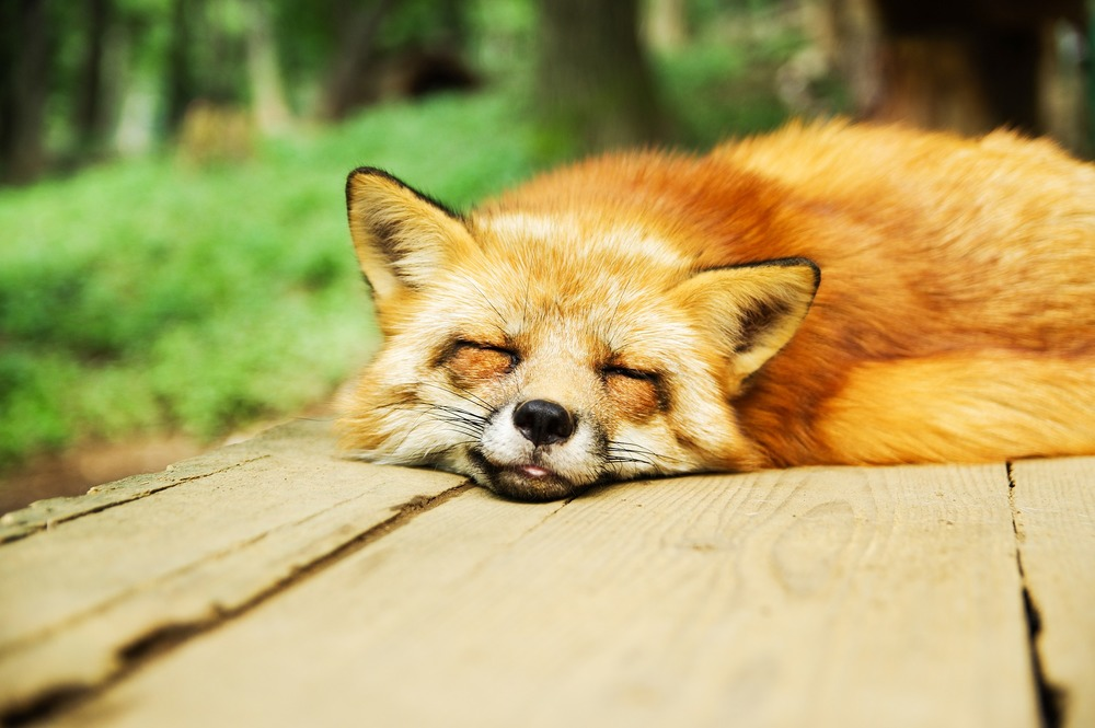 sleeping fox animal totem