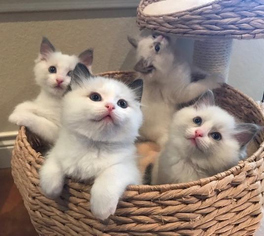 Fantasy and Pireus' kittens. Born 09/27/2017.