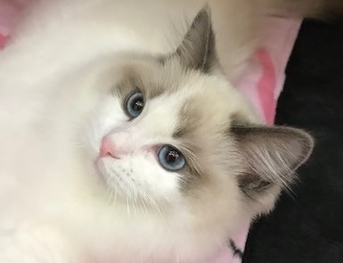 Ragdoll cats make the perfect companions and love being around people and other pets, including dogs.