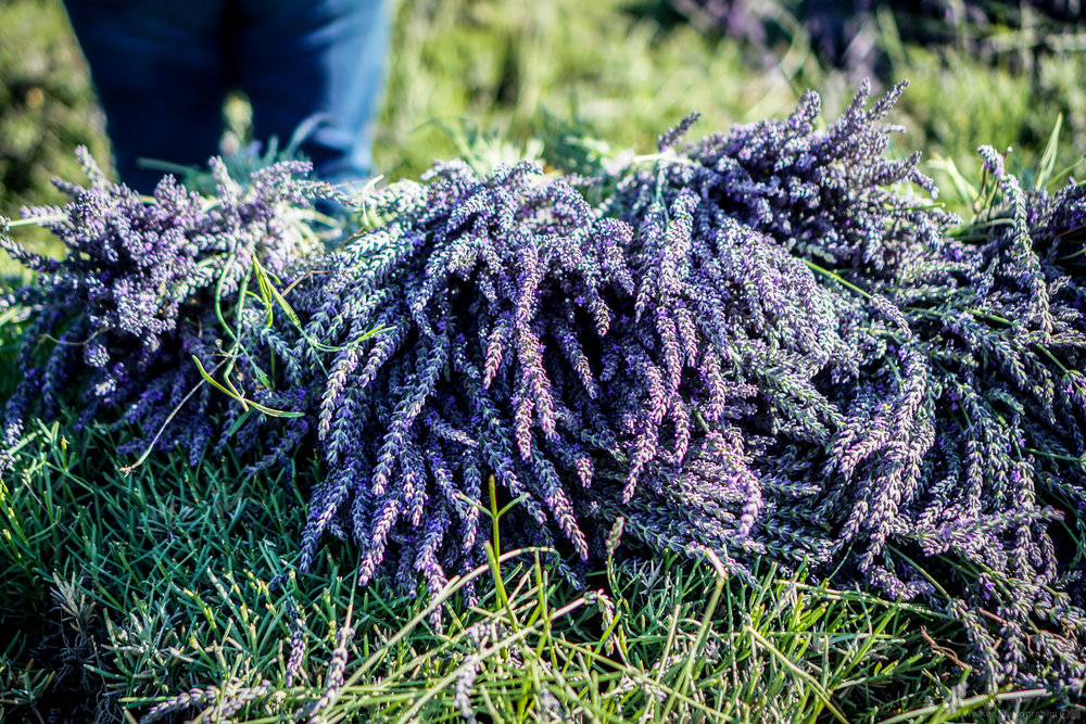 Stacks of newly cut Lavender.