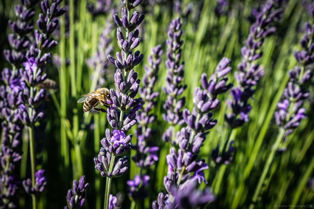 Bees buzz around the Lavender.