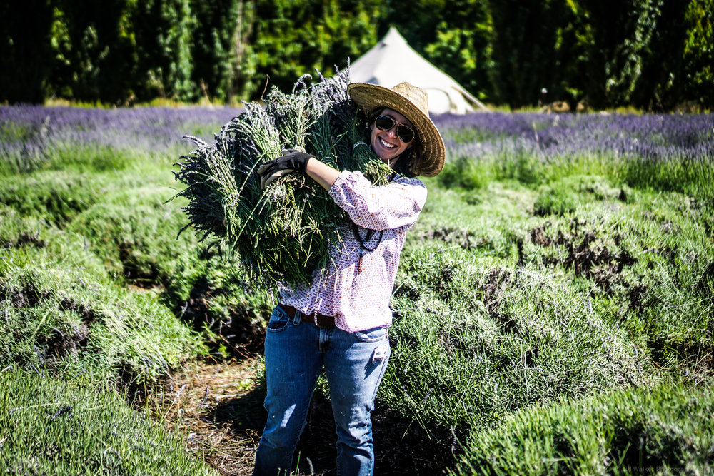 Lilly collects the bunches of Lavender for drying.