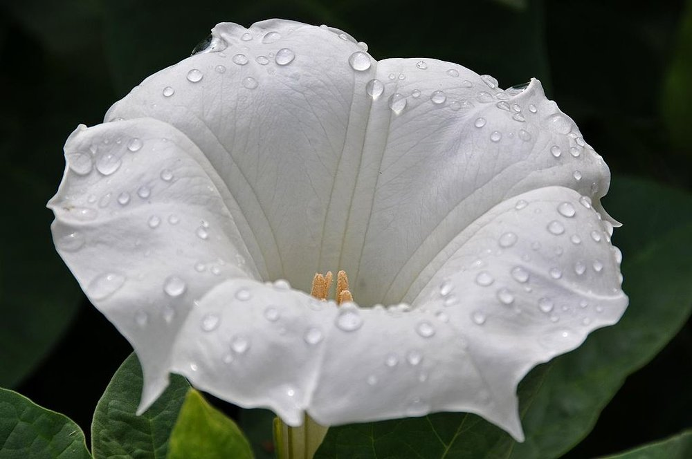 The Datura Flower, also known as devils trumpets.  Keep away from pets.