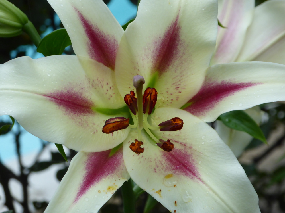 Pink and White Asiatic Lilly