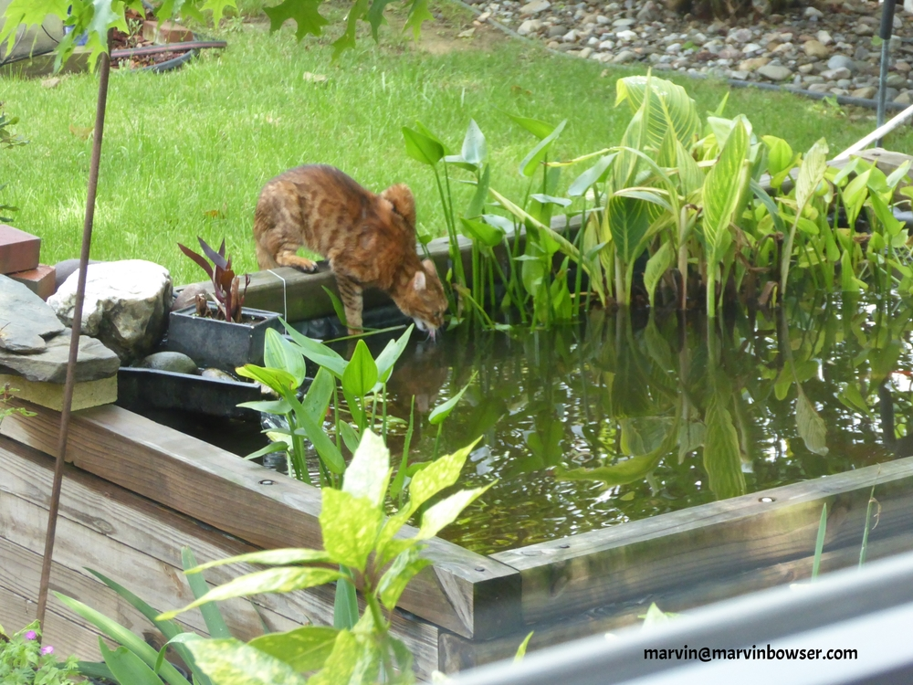 Thirsty cat takes sip from my pond