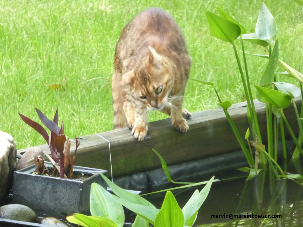 Thirsty cat notices fish in the pond!