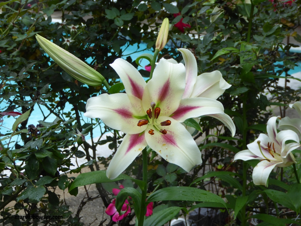 White and Pink Asiatic Lillies