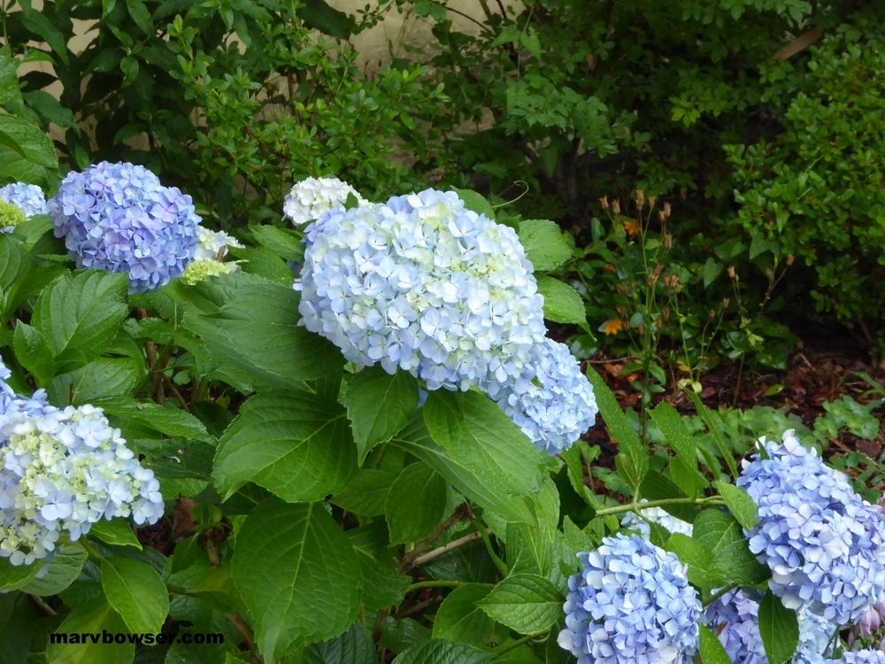 Hydrangea - Summer Favorite