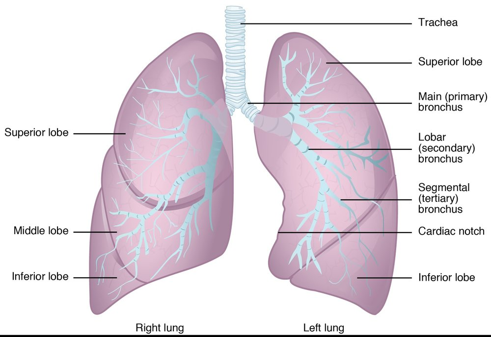 https://upload.wikimedia.org/wikipedia/commons/thumb/7/7e/2312_Gross_Anatomy_of_the_Lungs.jpg/1280px-2312_Gross_Anatomy_of_the_Lungs.jpg