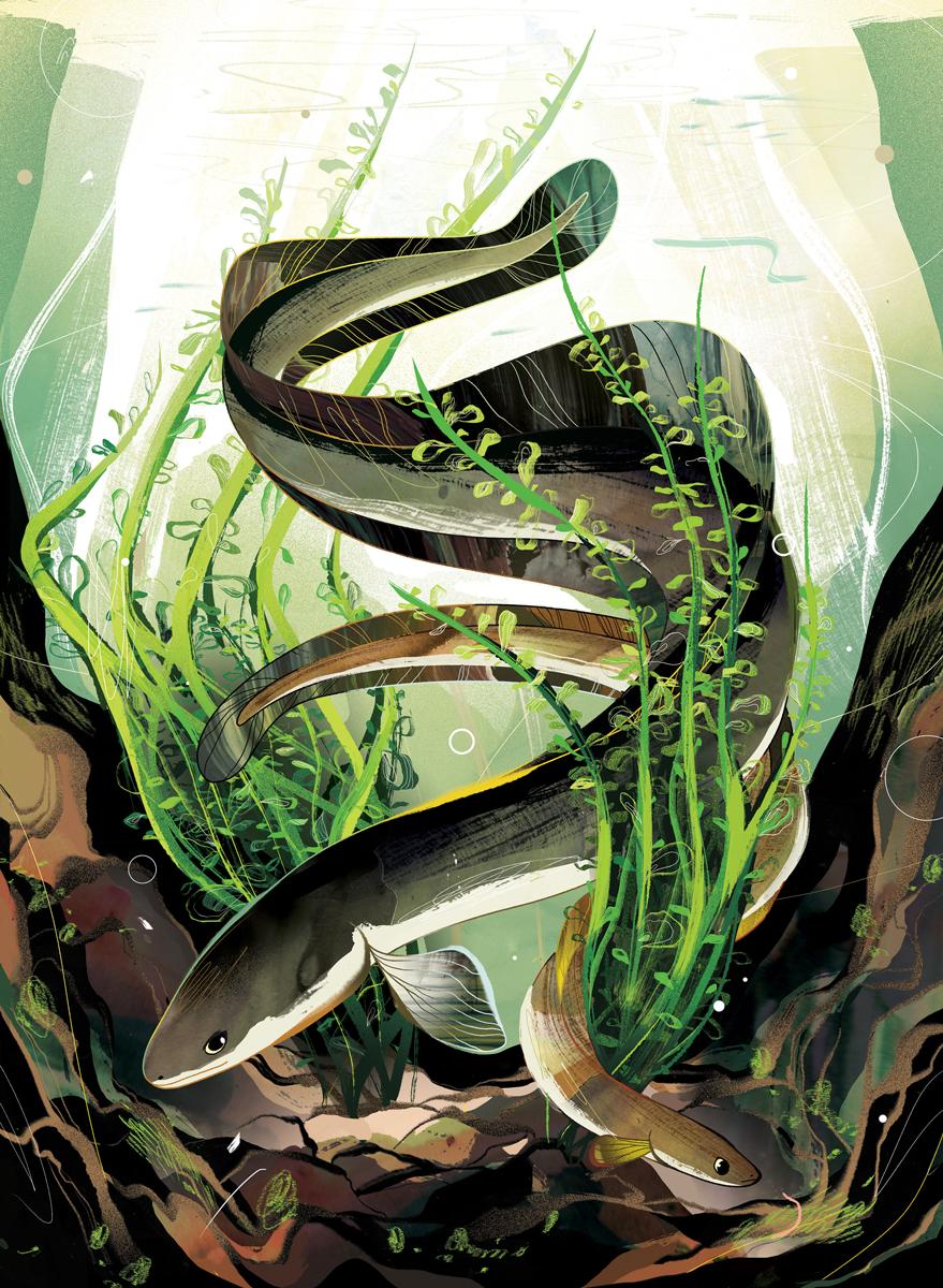The Charismatic Eel   Canadian Wildlife Magazine  AD: Steven Balaban