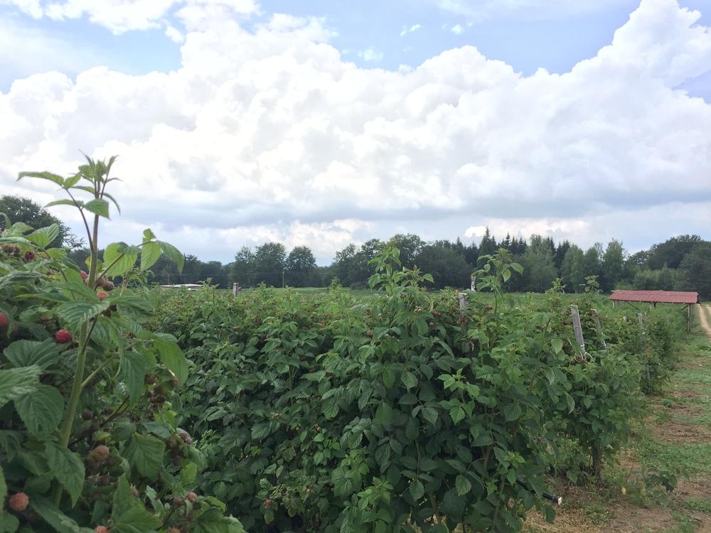 Raspberry farm at Trastena.
