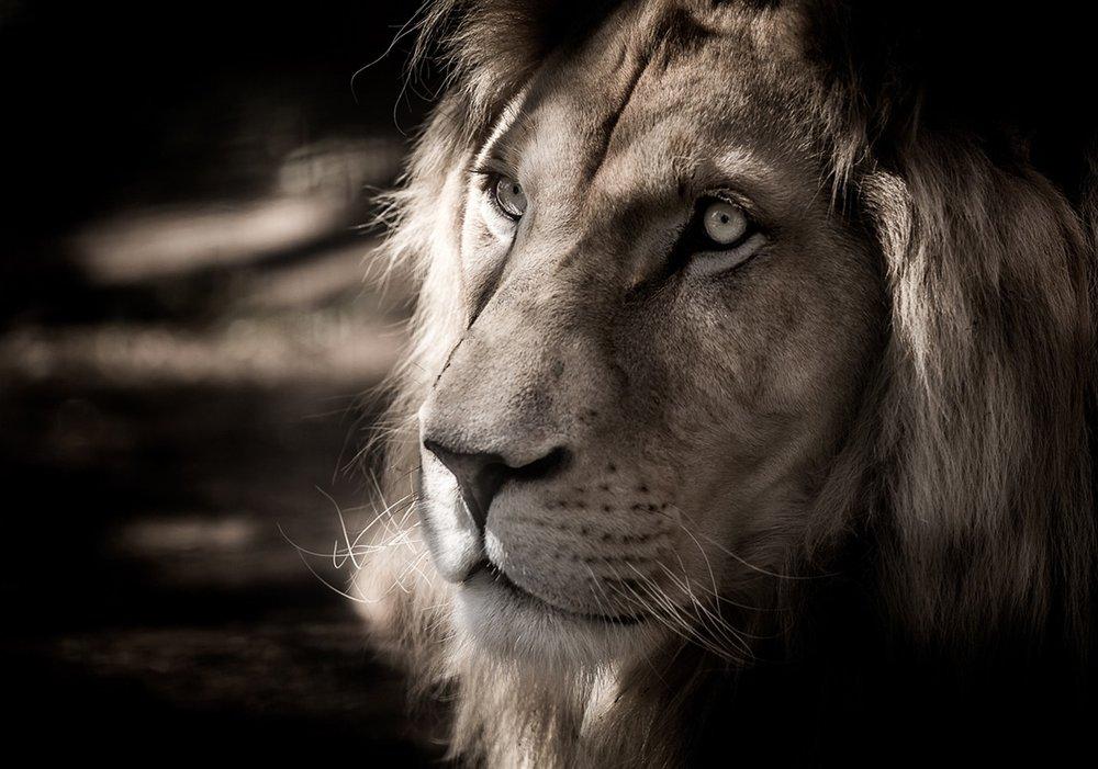 white-lion-2889308_1280.jpg