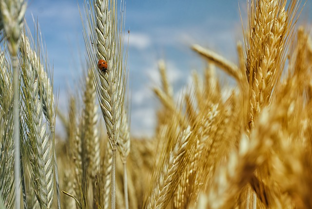 harvest-eyes