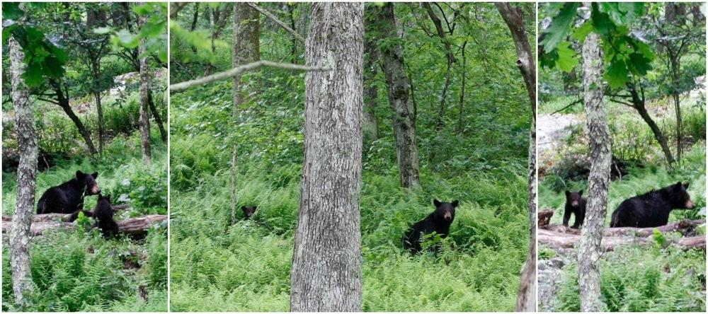 Shen bears.jpg