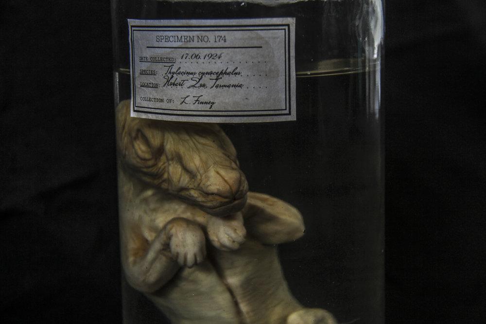 thylacine 1.jpg