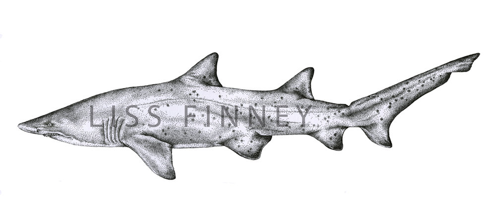 nurse-shark+copy.jpg