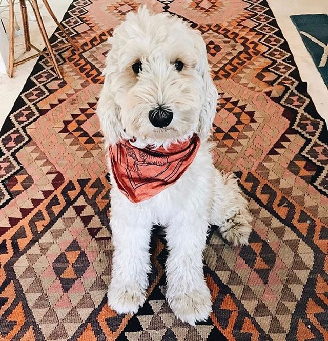 @dollypartondoodle dressed to impress!! tag us in pics of your doggos all dressed up , it's their time to shine!! 😍😍😍⠀ ⠀ ⠀ ⠀ ⠀ ⠀ ⠀ ⠀ ⠀ ⠀ ⠀ ⠀ #groodle #goldendoodle #dollypartondoodle #beaufortstreet #mtlawley #anotherdayinwa #markets #beaufortstreetnetwork #BSAM #perthisok #duckytheyorkie #shoplocal #dog #puppy #yorkie #dogsofinstagram