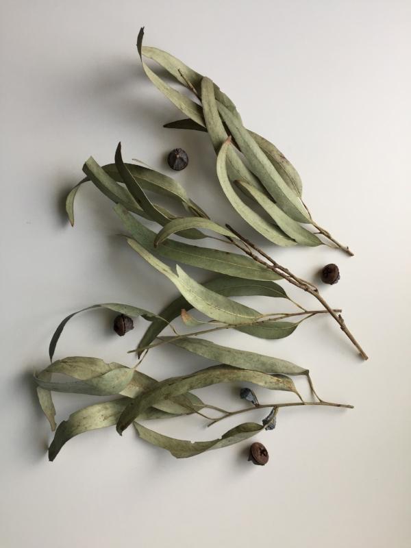 Eucalyptus Leaves and Pods.jpg