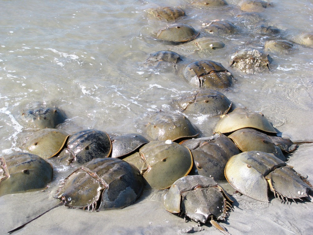"A mob of ""satellite"" horseshoe crab males surround a female (in the center) on a barrier island in hopes of fertilizing her eggs. (Photo: E. Weeks)"