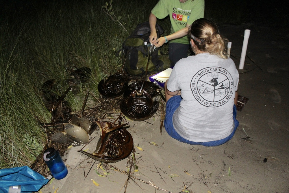 SCDNR staff set up a horseshoe crab tagging station at the end of Coffin Point beach. (Photo: E. Weeks/SCDNR)