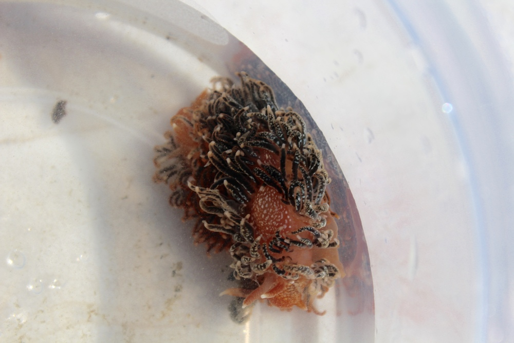 Close-up of one of the nudibranchs found in a crap pot. (Photo: E. Weeks/SCDNR)
