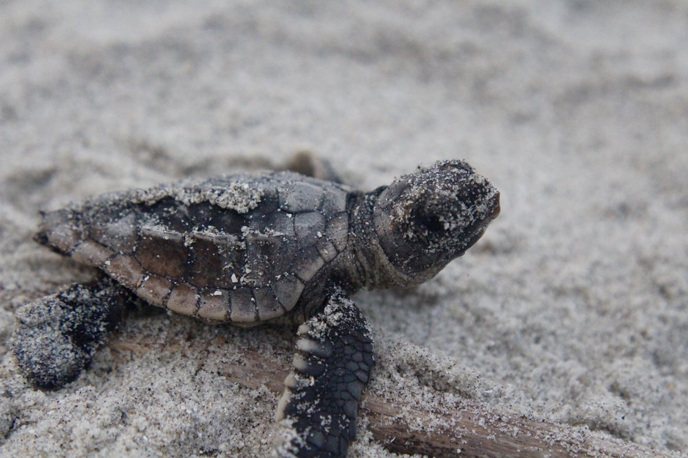 A loggerhead hatchling makes its way to the Atlantic at Botany Bay Plantation on Edisto Island. (Photo: E. Weeks/SCDNR)