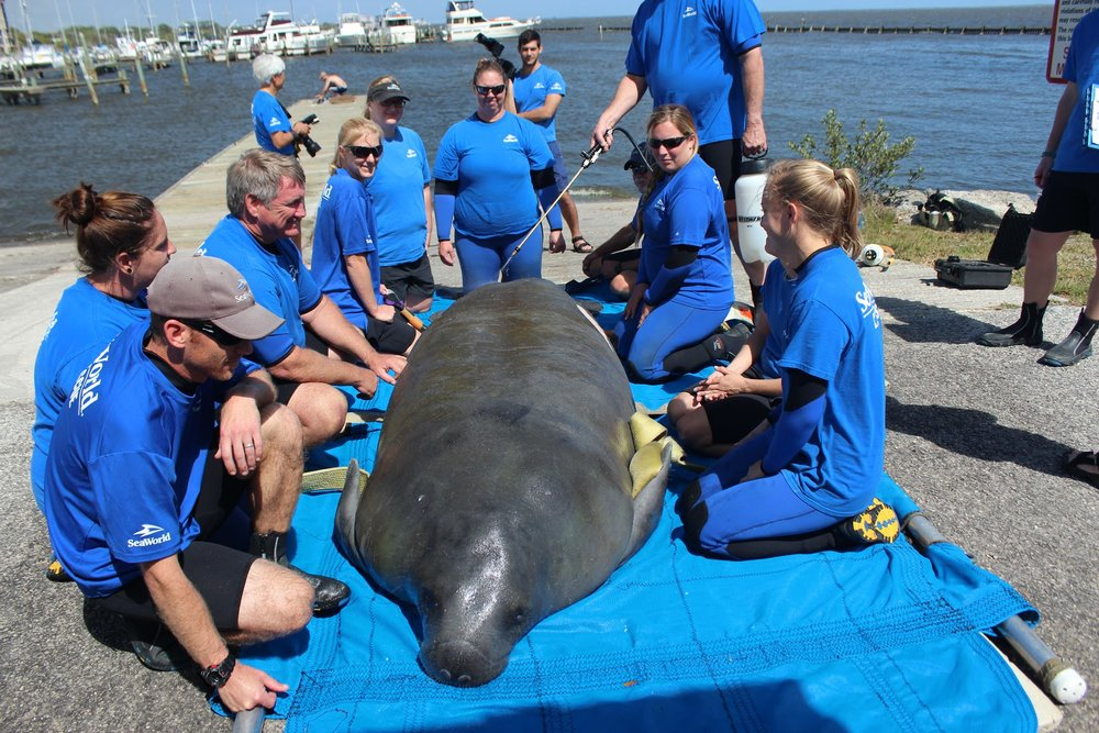 The SeaWorld staff that captured Goose sit with the manatee before his transport to a Florida rehab facility. (Photo: SeaWorld)