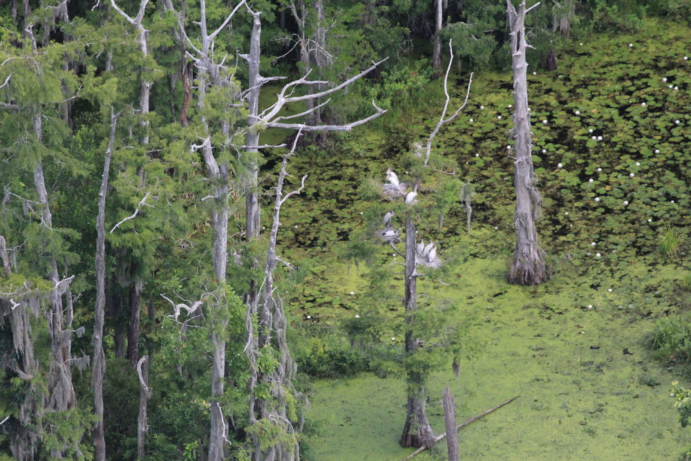 Pretty as a picture: wood stork chicks sit on their nests in a bald cypress tree at Washo Reserve, a property owned by the Nature Conservancy and jointly managed by SCDNR. (Photo: Christy Hand)