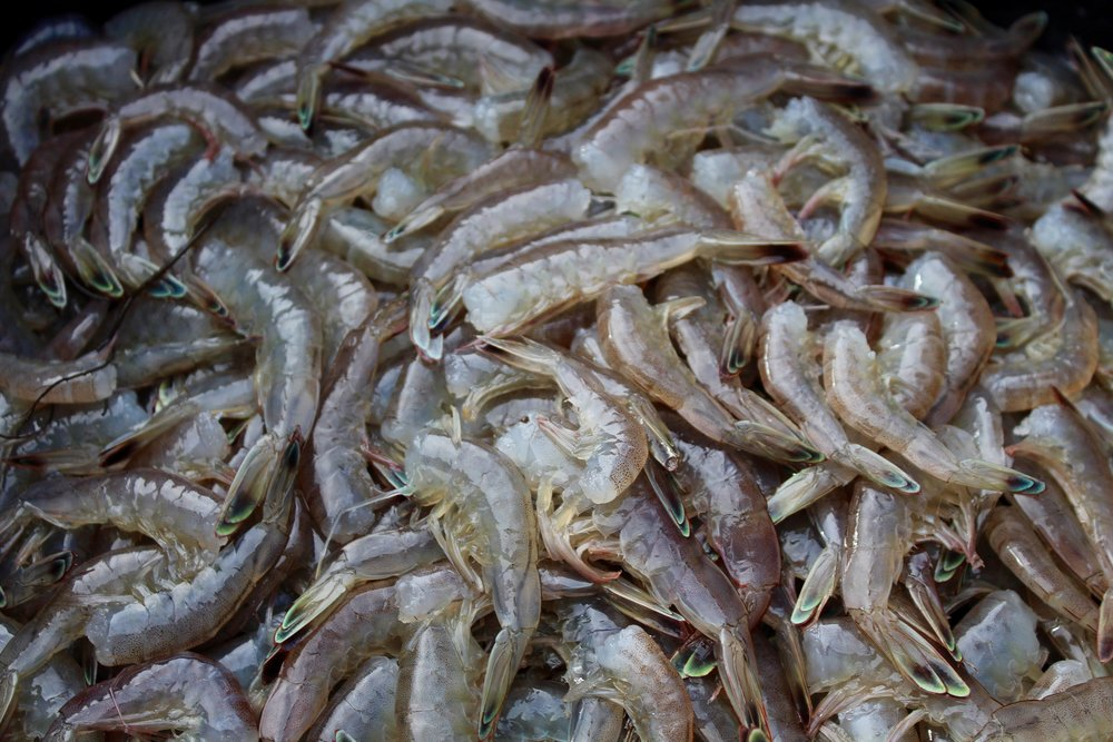 Processed white shrimp on an SCDNR crustacean trawl (Photo: E. Weeks/SCDNR)
