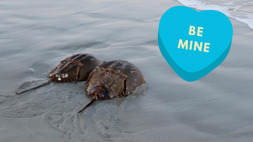 How To Romance Like A Sea Creature South Carolina Coastal Resources