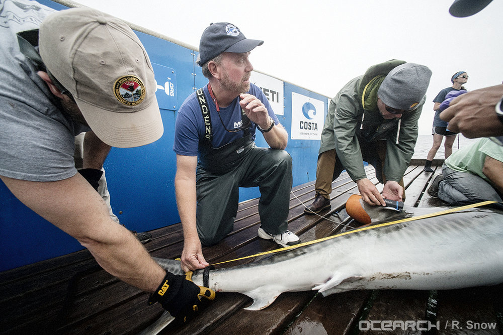 SCDNR biologist Bryan Frazier (left) assists with the tagging/sampling procedure for a male tiger shark on OCEARCH's 2016 expedition in Jacksonville, FL. (Photo: OCEARCH/R. Snow)