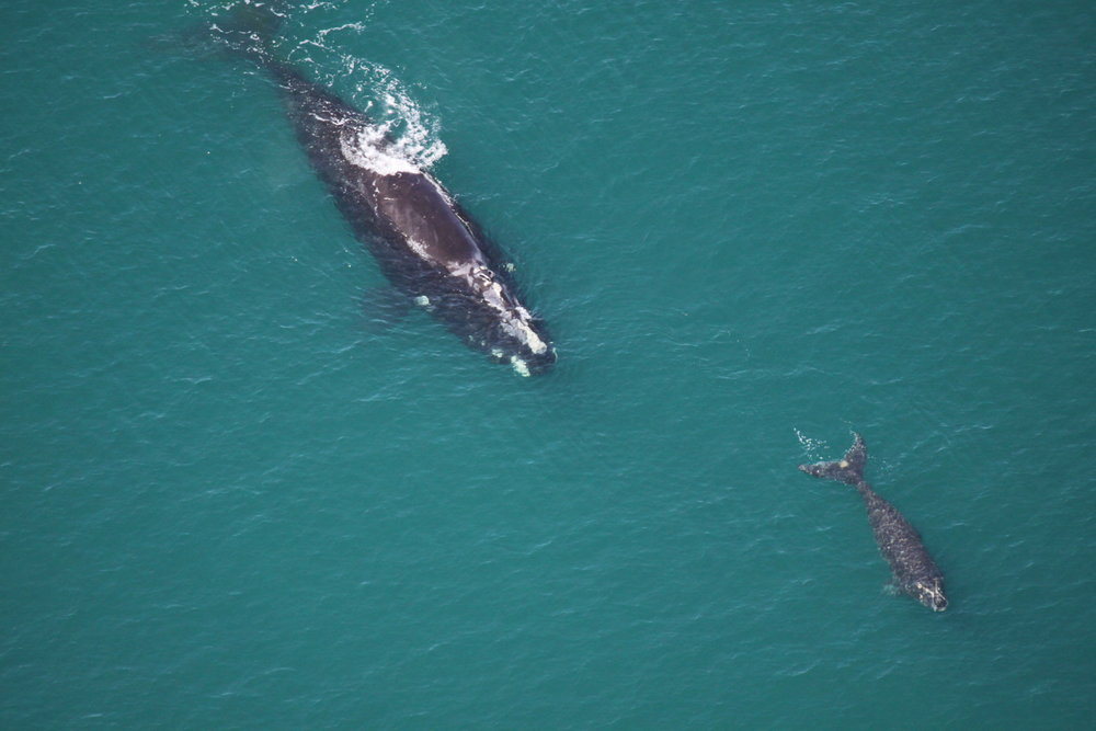"A mother and calf right whale pair swim off the coast of Sapelo Island, GA in 2015. This is the sixth known calf for female #1602, dubbed ""Mantis."" (Photo: Sea to Shore Alliance, taken under NOAA research permit #15488)"