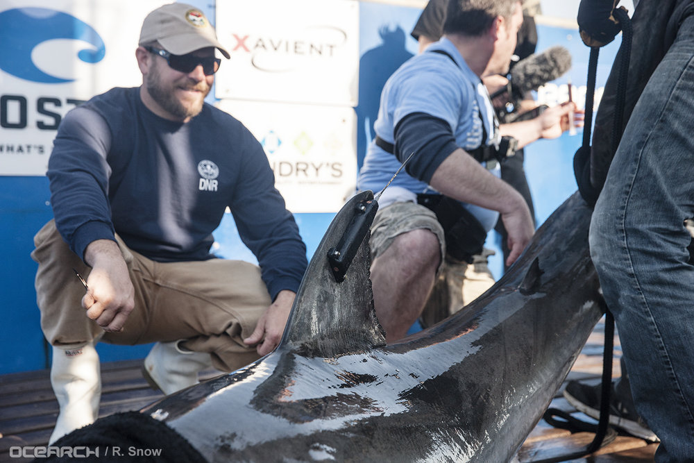 "SCDNR marine biologist Bryan Frazier sits with white shark ""Savannah,"" who sports a newly affixed satellite transmitter on her dorsal fin. (Photo: OCEARCH/R. Snow)"