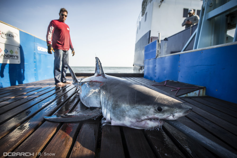 OCEARCH's Captain Brett McBride stands with Savannah the white shark aboard the R/V OCEARCH on March 5. (Photo: OCEARCH/R.SNOW)