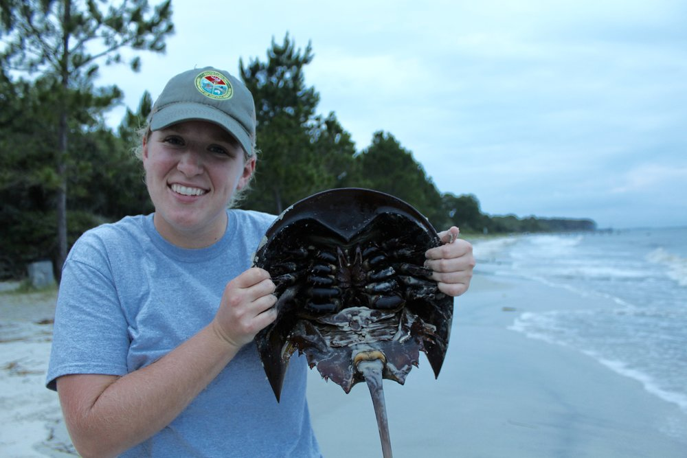 Former SCDNR marine educator Emily Foy holds a horseshoe crab before a 2016 survey. (Photo: E. Weeks/SCDNR)