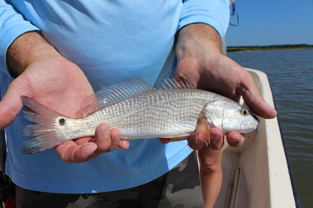 Until about age 5, young red drum live in South Carolina's coastal creeks and rivers. (Photo: E. Weeks/SCDNR)