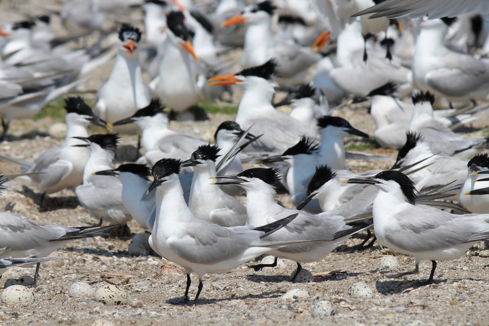 Sandwich terns are smaller in stature than royal terns and have a thin, black bill with a yellow tip. (Photo: E. Weeks/SCDNR)