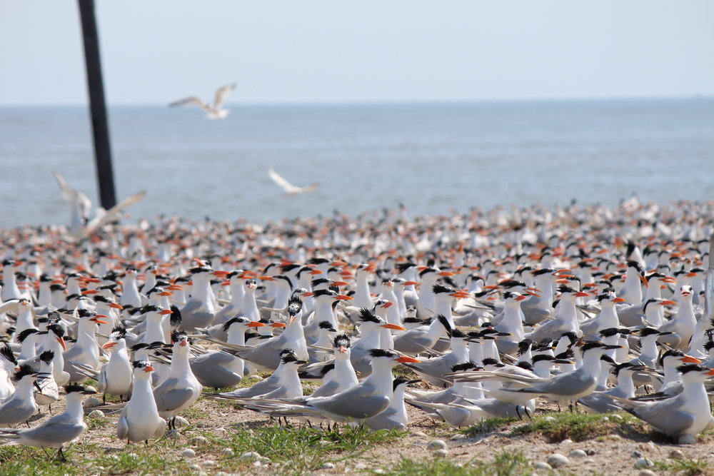 Terns nest in large groups, or colonies. With thousands of birds calling at once, nesting colonies can be deafening. (Photo: E. Weeks/SCDNR)