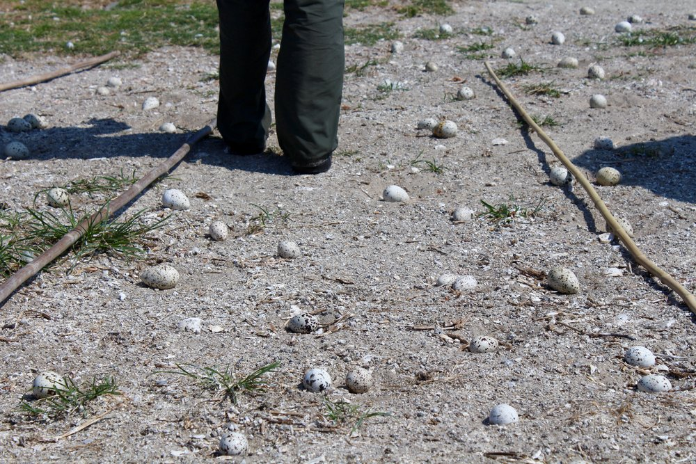 Like many shorebirds and seabirds, terns nest directly on the ground – making their eggs difficult to spot in the sand. Their speckled camouflage helps protect eggs from predators, but on busy beaches, it also means nests can easily be stepped on. (Photo: E. Weeks/SCDNR)