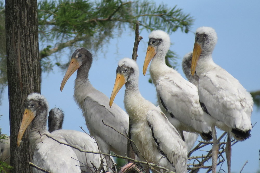 Young wood storks perched in a cypress tree (Photo: Christy Hand/SCDNR)