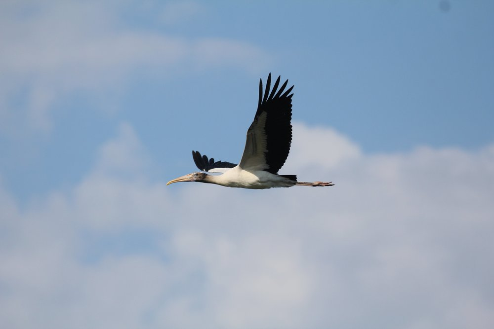 A young wood stork in flight. (Photo: Christy Hand/SCDNR)