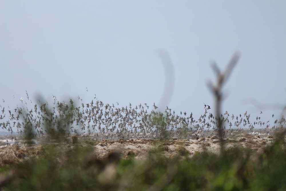 A flock of red knots takes flight in Cape Romain National Wildlife Refuge. (Photo: E. Weeks/SCDNR)