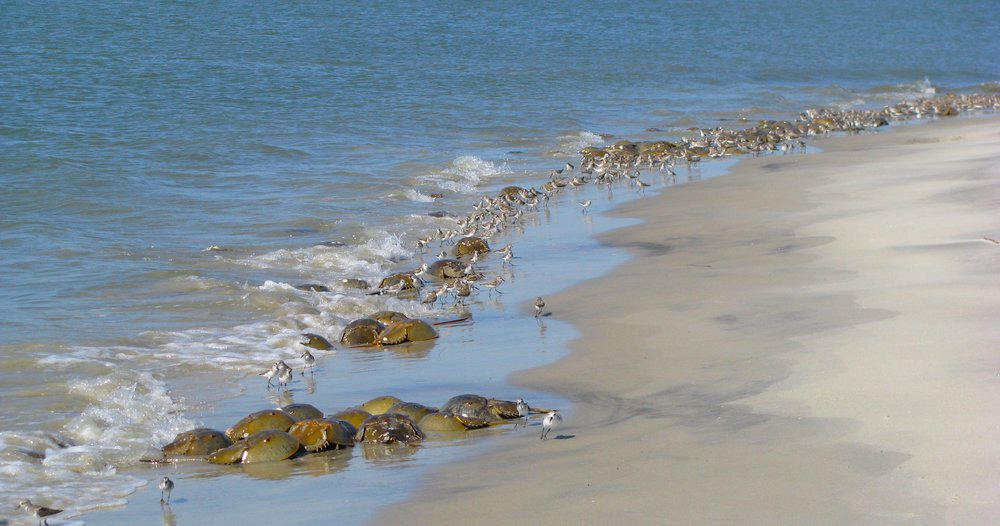Shorebirds dart among incoming waves and mating horseshoe crabs to feed along the shoreline. (Photo: E. Weeks)