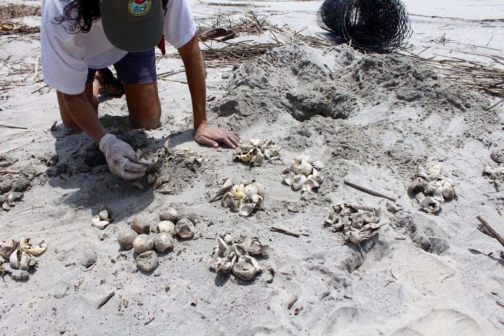 SCDNR biologist Michelle Pate counts hatched and unhatched sea turtle eggs during a nest inventory on Otter Island, where raccoons frequently prey on eggs. (Photo: E. Weeks/SCDNR)