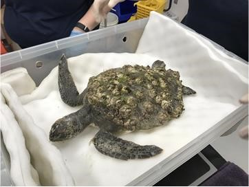 Gill's shell was covered in mud, algae, and barnacles when the juvenile green sea turtle washed ashore sick in North Myrtle Beach.