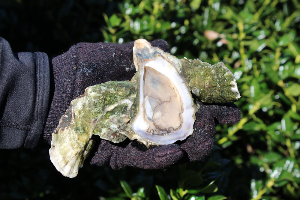 Shucking the oysters for this dish yourself is labor-intensive but rewarding. (Photo: E. Weeks/SCDNR)
