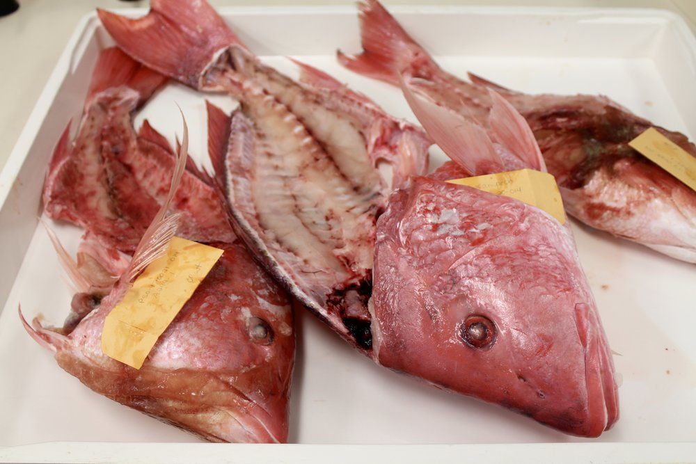 hacksaws fish heads why scdnr biologists want your red snapper