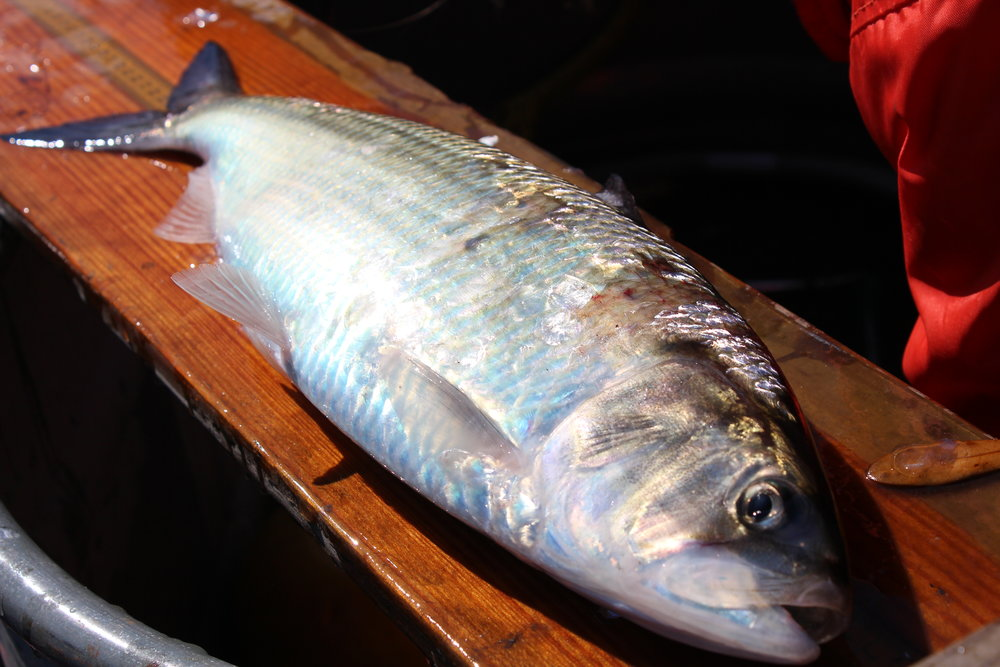 American shad are the largest members of the herring family in the United States, and like their relatives the menhaden, shad have oily meat high in omega-3 fatty acids. (Photo: E. Weeks/SCDNR)