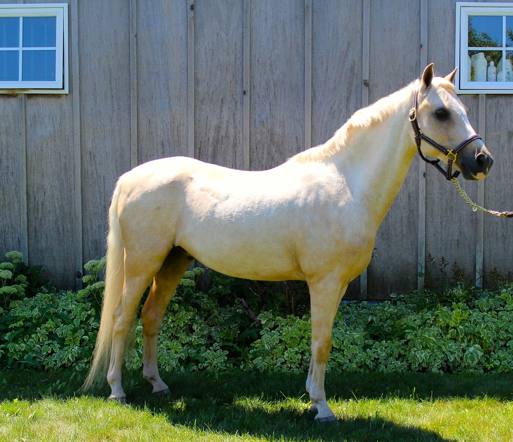 meet our ponies silver tide stable hamptons new york equestrian